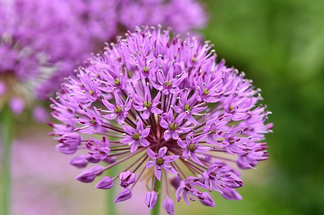 Ornamental Onion, Allium Stratos, Allium, Violet