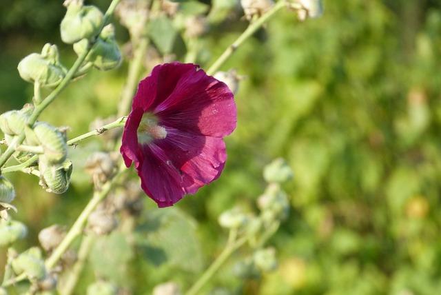 Mallow, Flower, Allotment, Red, Blossom, Bloom, Garden