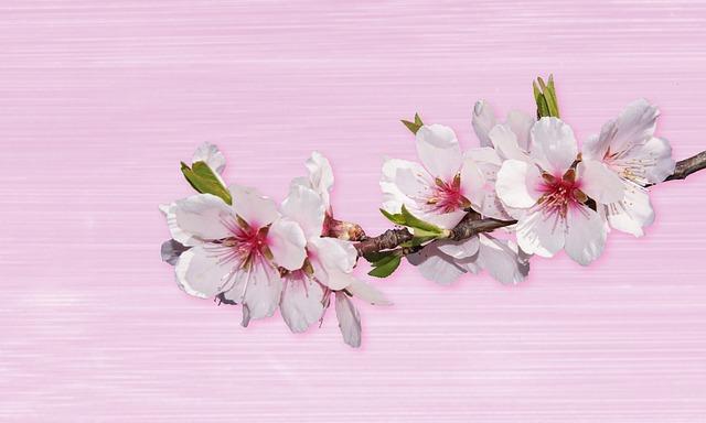 Flower, Nature, Plant, Petal, Flowers, Almond Blossom