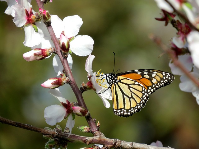 Monarch Butterfly, Wanderer, Almond Blossom, Spring