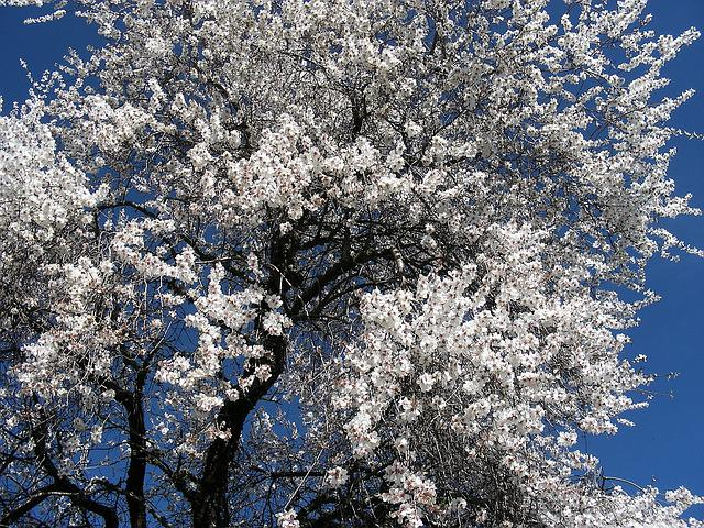 Almond, Flower, Alentejo, Nature