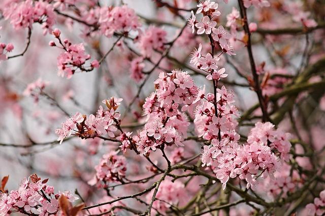 Almond Tree, Mandelbaeumchen, Flowers, Almond Blossom