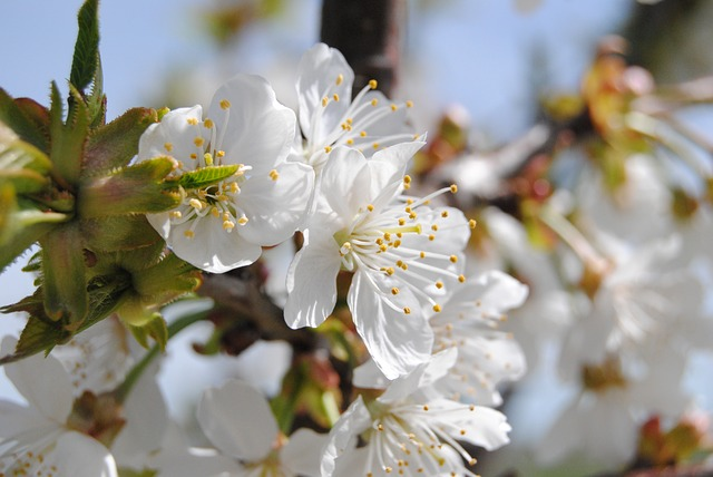 Flower, Spring, Almond Tree, White