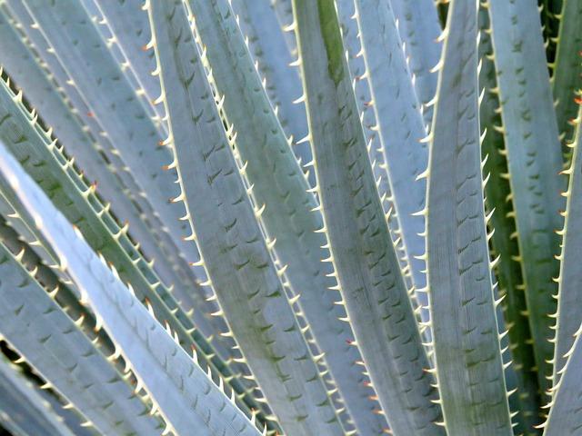 Aloe Vera, Plant, Arizona