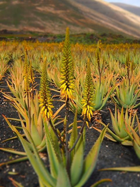 Aloe Vera, Aloe Vera Plant, Plant, Care, Aloe, Vera