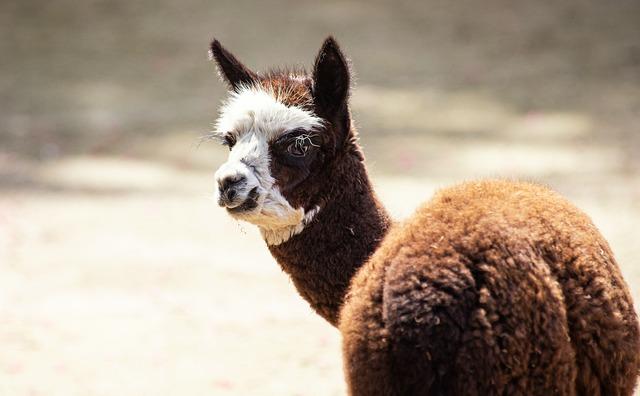 Alpaca, Mammal, Animal, Animal World, Livestock, Fur