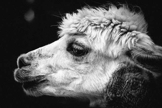 Alpaca, Pako, Andes, Animal, Wool, Mammal, Animal World