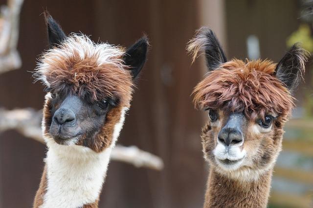Alpaca, Andes, Wool, Fluffy, Paarhufer