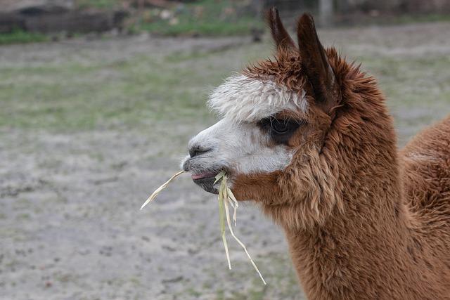 Alpaca, Animal, Mammal, Head, Wool, Eating, Camelid