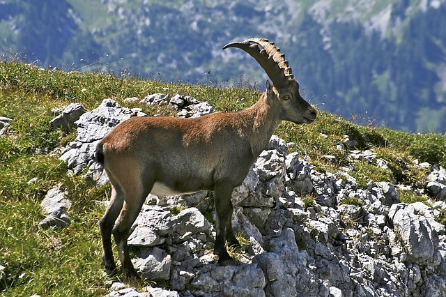 Hagengebirge, Capricorn, Alpine Animals, Alpine Ibex