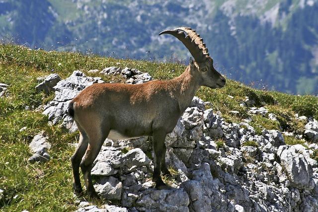 Hagengebirge, Capricorn, Alpine Animals, Alpine Ibex