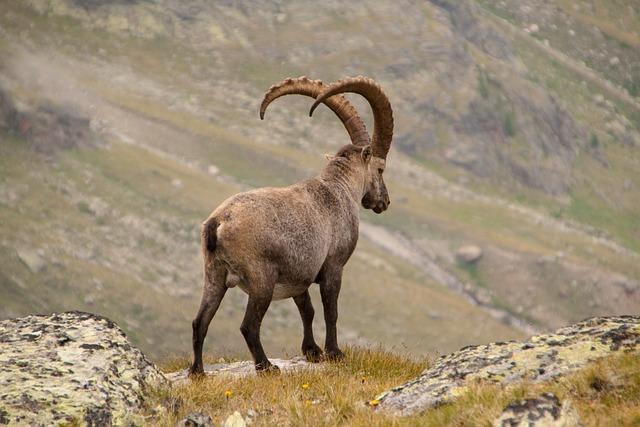 Capricorn, Alpine, Wild Animal, Wildlife Photography