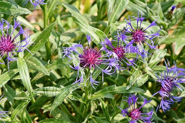 Alpine Cornflower, Centaurea Montana, Flower, Blossom