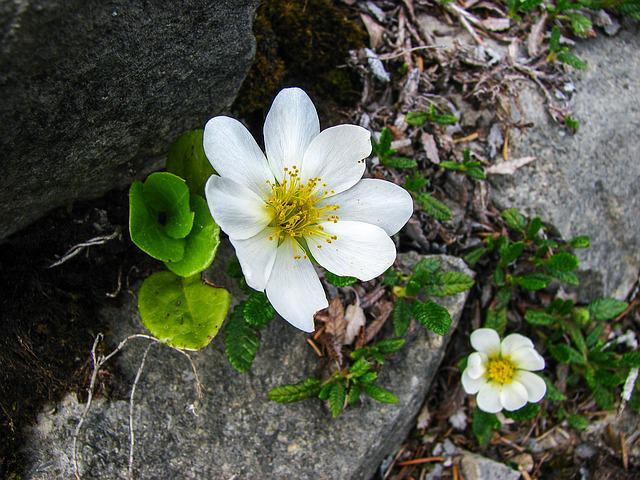 Mountain Avens, Alpine Flower, Alpine Flora