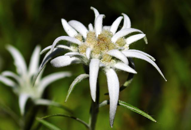 Flower, Edelweiss, Alpine Edelweiß, Alpine Flower