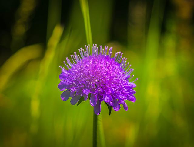 Flower, Ball Flower, Alpine Flower, Violet, Blossom
