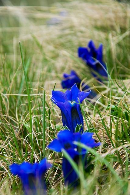 Gentian, Flower, Alpine Flower, Mountain Flower