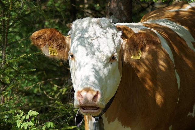 Cow, Brown Swiss, Beef, Livestock, Alpine, Milk Cow