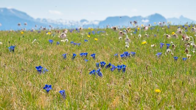 Alpine Meadow, Gentian, Alpine Flora, Alpine Plant