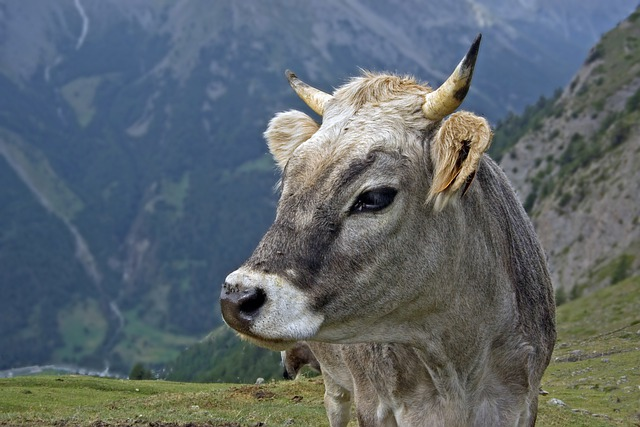 Cow, Gray Breed, Alpine, Mountain, Alps, Italy, Cattle