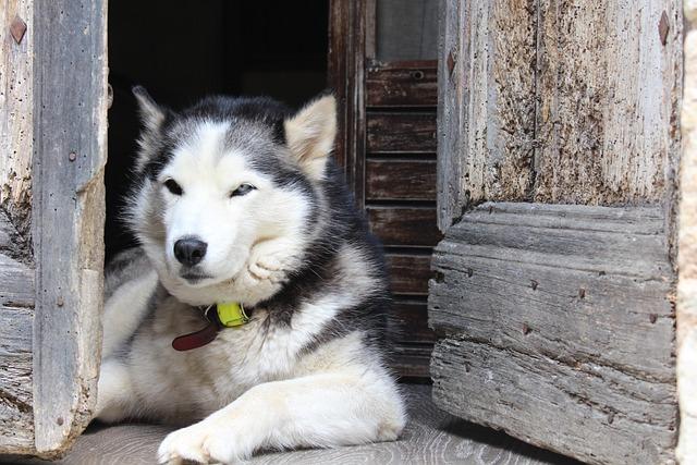 Dog, Husky, Alps, Pet, Elongate
