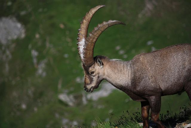 Ibex, Wild, Nature, Alps, Wild Animal, Mountain, Fauna