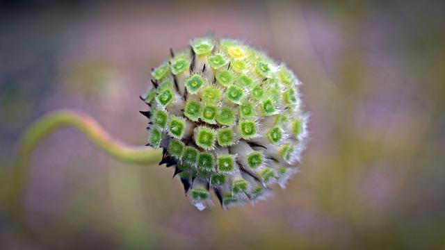 Cephalaria Alpina, Alps Scale Head, Magic Shrub