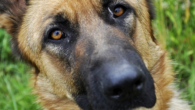 Sheep-dog, Dog, German Shepherd, Alsatian, Animal, Coat