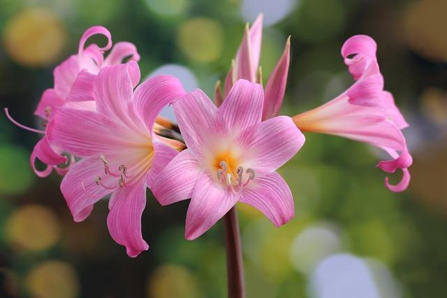 Easter Lily, Amaryllis Belladonna, Belladonna Lily