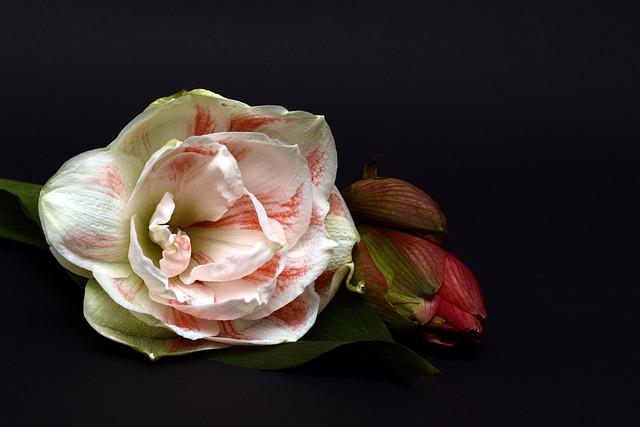 Amaryllis, Blossom, Bloom, Flower, Close, Nature, Plant