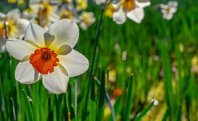 Daffodil, Flower, Plant, Amaryllis Plant, Spring Flower