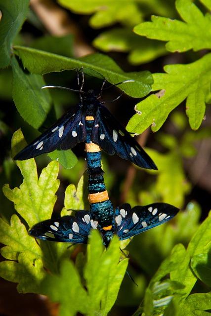 Nine-spotted Moth, Amata Phegea, Butterfly, Moth