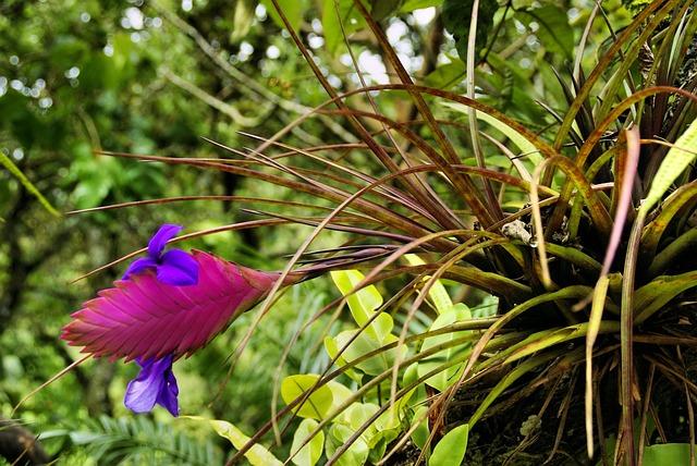 Exotic Flower, Tillandsia, Bromeliad, Amazonie