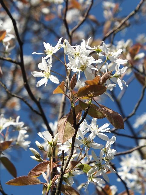 Amelanchier, Amelanchier Laevis, Flower White