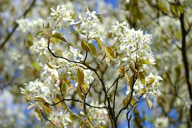 Amelanchier, Flowers, White, Blütenmeer, Spring, Tree