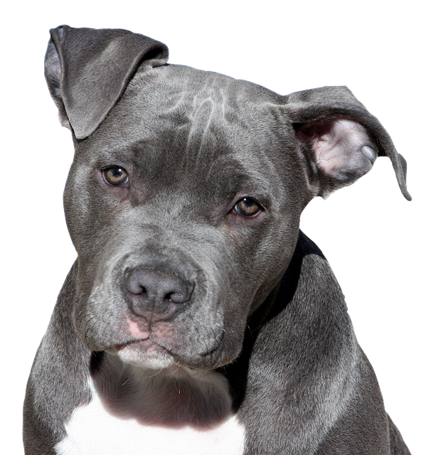 Dog, Pitbull, Terrier, American Staffordshire, Face