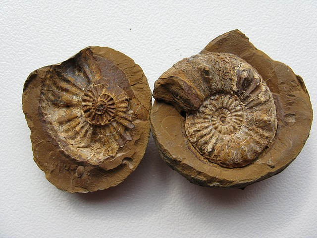 Ammonites, Fossils, Cephalopods, Extinct, Ammonoidea