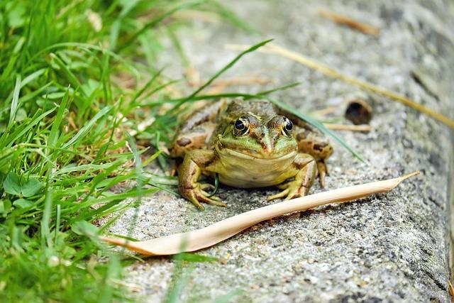 Frog, Water Frog, Amphibian, Animal, Green, Frog Pond