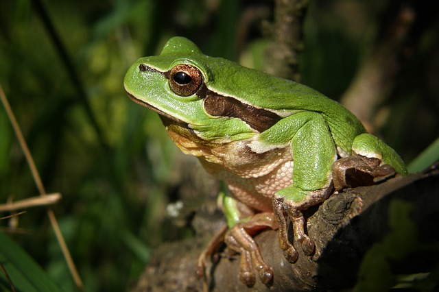 Tree-frog, Frog, Nature, Macro, Green, Amphibian