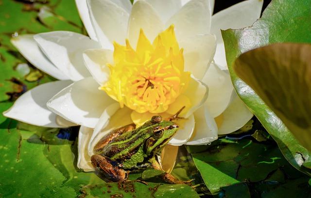 Water Lily, Frog, Amphibian, Aquatic Plant