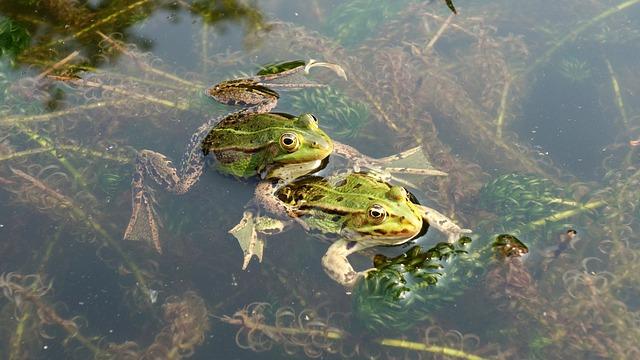Frogs, Propagation, Mate, Green Frogs, Amphibians