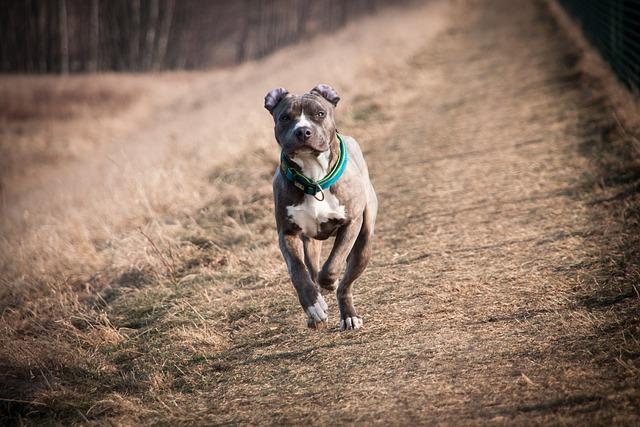 Amstaff, American Staffordshire Terrier, Terrier, Dog