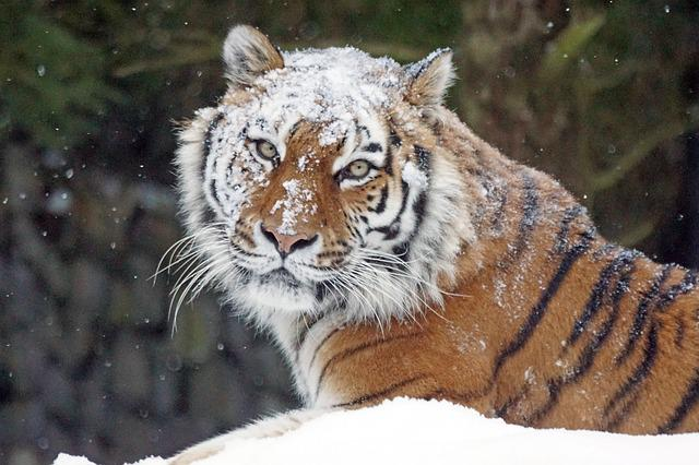 Amurtiger, Big Cat, Predator, Dangerous, Tiger, Snow