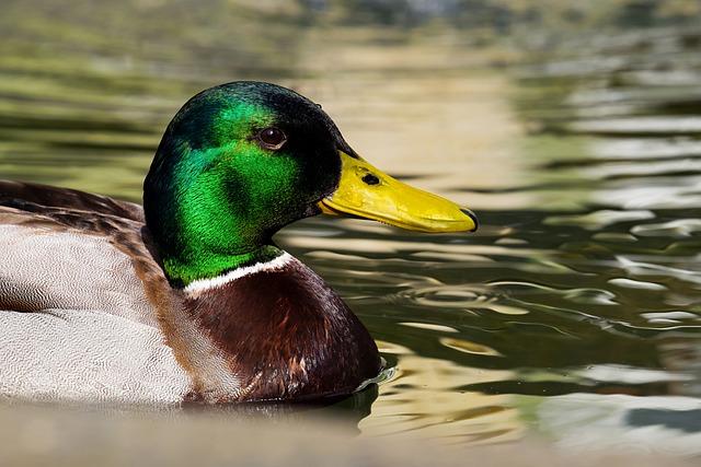 Mallard, Duck, Anas Platyrhynchos, Bird, Water Bird