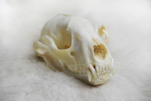 Animal Skull, Skull, Anatomy, Raccoon, Bone, Nature
