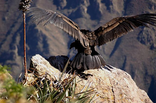Condor, Andes, Colcacanon, Freedom, Departure, Gorges