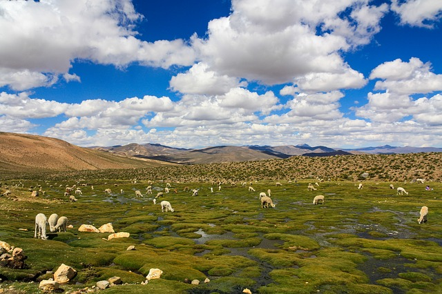Alpaca, Lama, Flock, Peru, Altiplano, Andes, Graze
