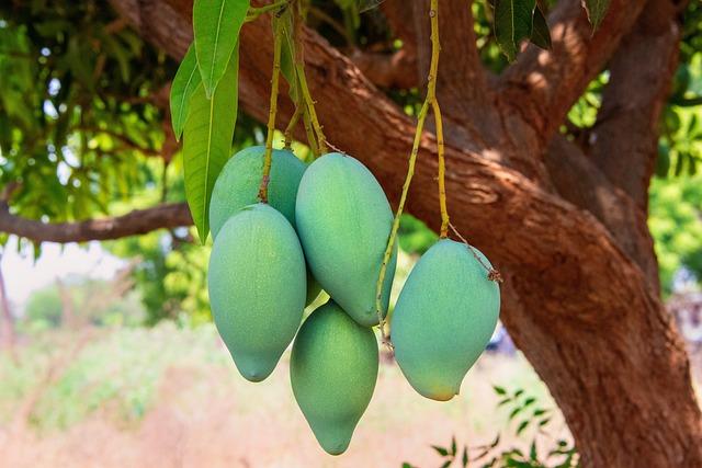 Mango, Green, Fuit, India, Andhra, Pradesh