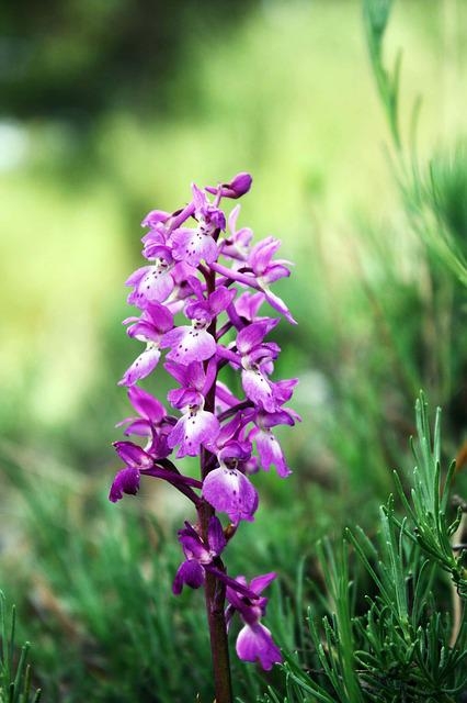Wild Orchids, Andorra, Flowers