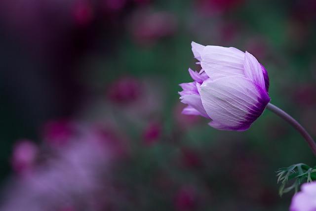 Anemone, Blossom, Bloom, White-violet, Bi Color